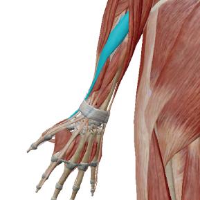 長母指外転筋のデータ|親指を横に開く筋肉
