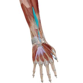 長母指屈筋のデータ|親指を曲げる筋肉