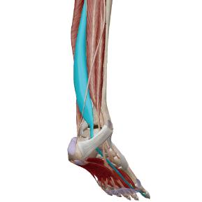 長母趾屈筋のデータ|足の親指を曲げる筋肉