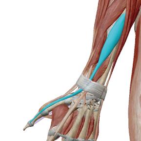 長母指伸筋のデータ|手の親指と手首を動かす筋肉