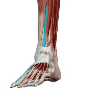 長母趾伸筋のデータ|足の親指を引き上げる筋肉
