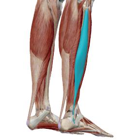 長腓骨筋のデータ|足裏のアーチや足首を支える筋肉