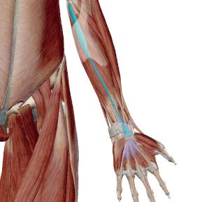 長掌筋のデータ|手首の屈曲の筋肉