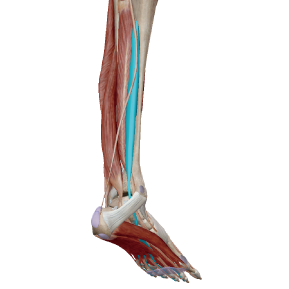 長趾屈筋のデータ|足裏のアーチにとって重要な筋肉
