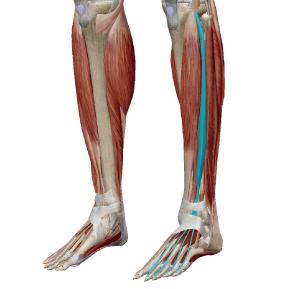 長趾伸筋のデータ|足首と指を反らせる筋肉