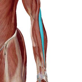 長橈側手根伸筋のデータ|手首を操作する筋肉