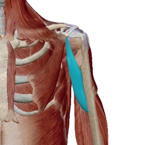 烏口腕筋のデータ 肩関節の補助をする筋肉