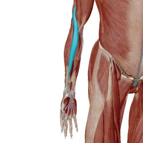 腕橈骨筋のデータ 肘の動きに大きく関与する筋肉